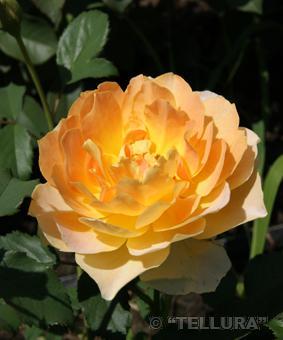 Роза 'Moulineux'