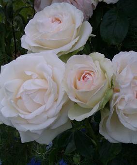 Роза 'Palais Royal'