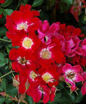 Роза 'Red Meidiland' (syn 'Rouge Meillandecor')