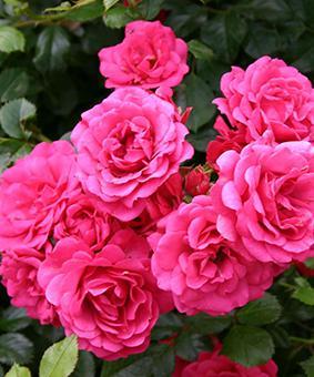Роза 'Rody'