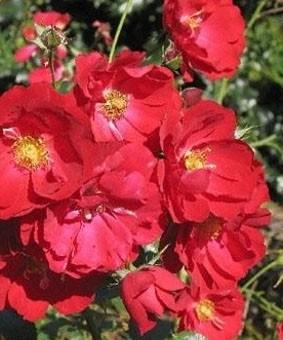 Роза 'Austriana'
