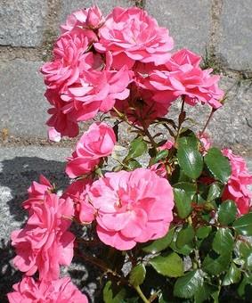 Роза 'Mirato'