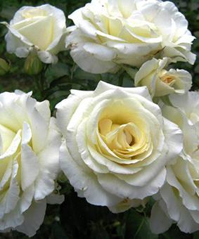 Роза 'Schneewalzer'
