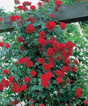 Роза 'Sympatie'