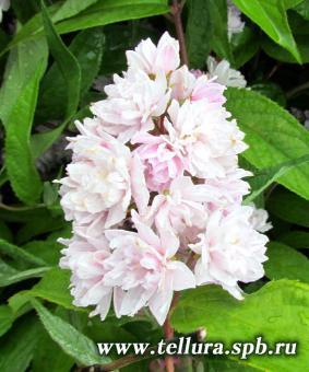 Deutzia x hybrida 'Rosea 'Plena' ('Pink Pom Pom')
