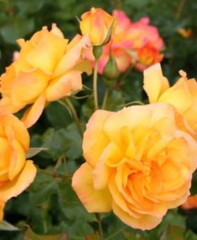 Роза 'Sachara'