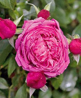 Роза 'Saint-Exupery'
