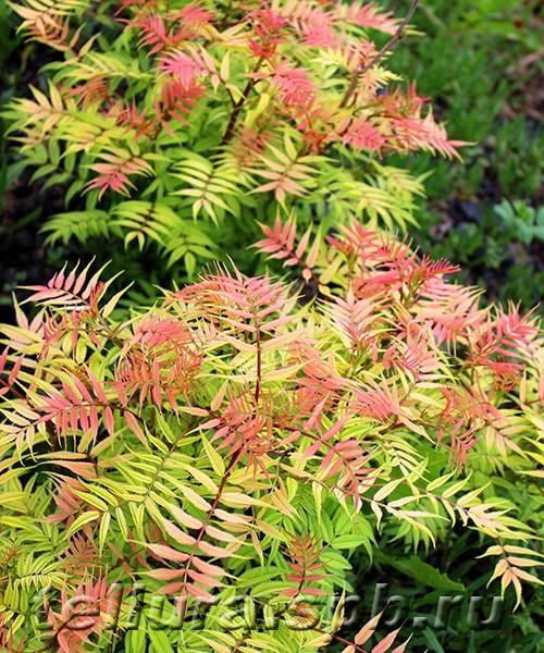 Рябинник Сэм (Sorbaria Sem) фото куста с золотистыми и розовыми листьями