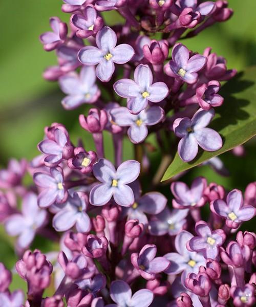 Сирень Аметист фото цветочной кисти в полуроспуске