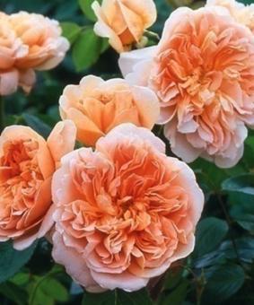 Роза 'Tea Clipper'