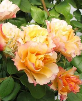Rose 'Tequila'