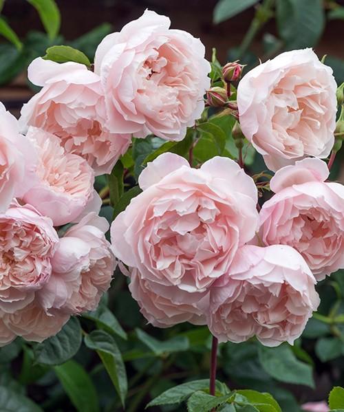 Роза Генероус Гарденер фото цветущей кисти с поникающими бледно-розовыми цветками