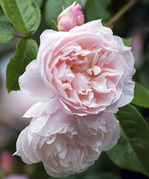 Роза Генероус Гарденер фото цветка крупным планом