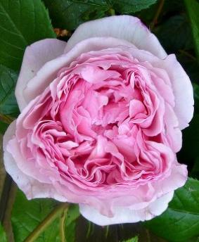 Роза 'The Wedgwood Rose'