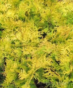 Thuja occidentalis 'Yellow Ribbon'