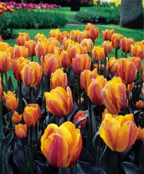 Tulip TR 'Princess Irene Roze'