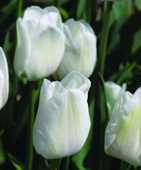 Tulip DAR 'Darwisnow'