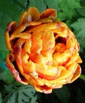 Tulip DE 'Herman Emmink'