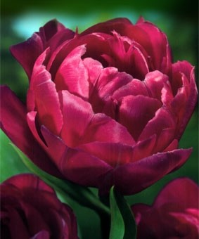 Tulip DE 'Margarita'