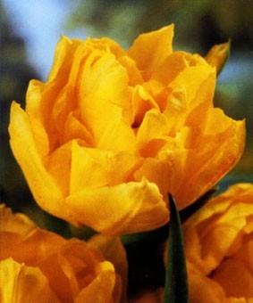 Tulip DE 'Monte Carlo'