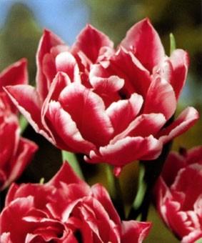 Tulip De 'Willemsoord'