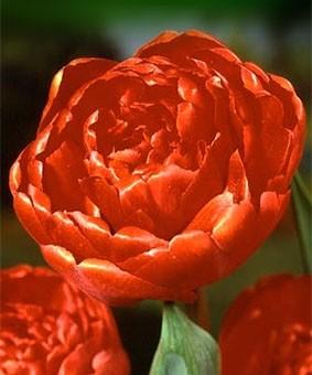 Tulip DL ' Miranda'