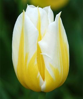 Tulip TR 'Flaming Coquette'
