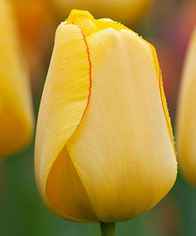 Tulip DAR 'Golden Parade'