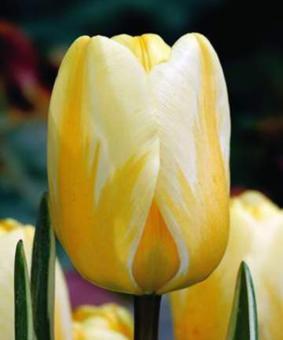 Tulip DAR 'Jaap Groot'