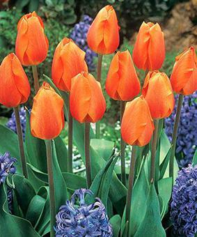 Tulip DAR 'Lighting Sun'