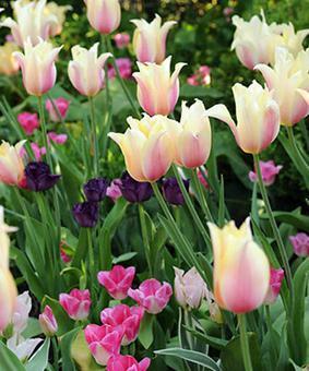 Tulip SIN 'Long Lady'