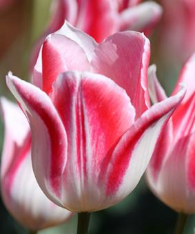 Tulip SPC 'Mickey Chik'