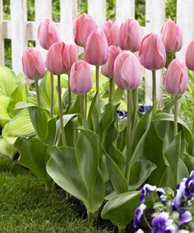 Tulip DAR 'Mystic Van Eijk'