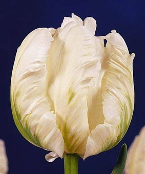 Tulip PAR 'White Parrot'