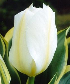 Tulip VAR 'Purissima Design'