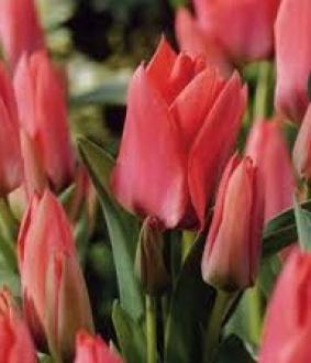 Tulip BOT 'Toronto'