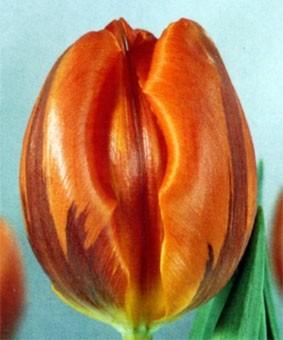 Tulip TR 'Hermitage'