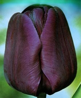 Tulip TR 'Negrita'