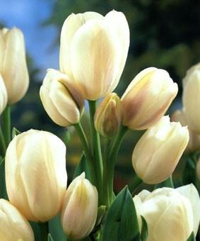 Tulip BUN 'Weisse Berliner'