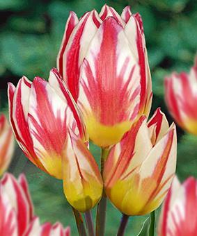 Tulip BUN 'Tricolette'