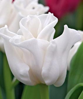 Tulip SPC 'White Liberstar'