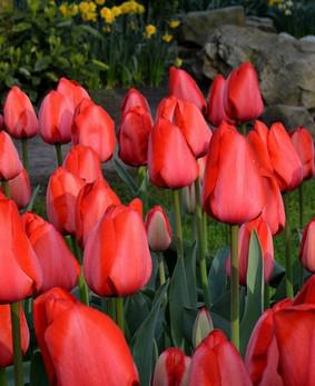 Tulip DAR 'Red Impression'