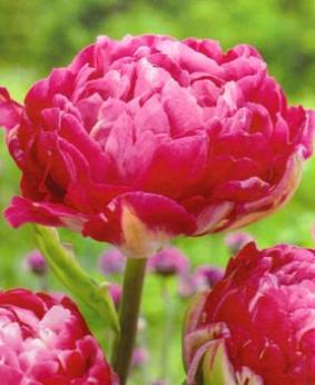 Tulip DBL 'Up Pink'