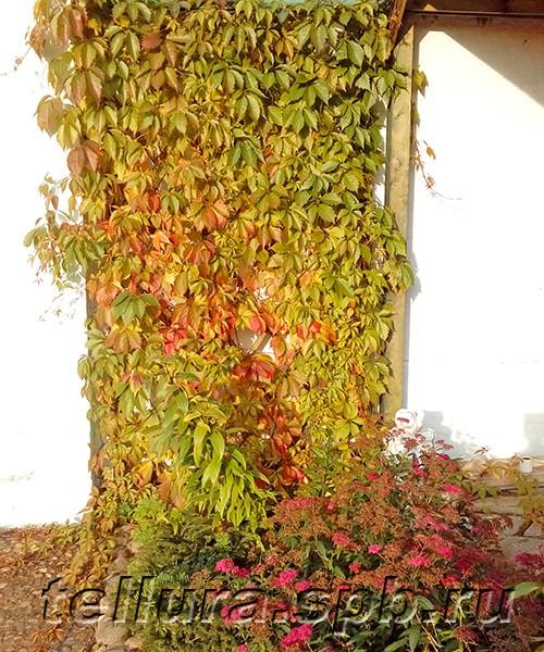 Девичий виноград вертикальное озеленение фото