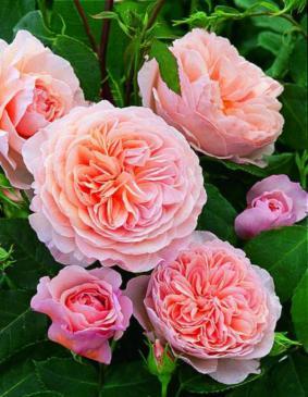 Роза 'William Morris'