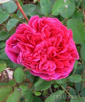 Роза 'William Shakespeare 2000'
