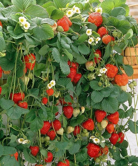 Земляника садовая Мара де Буа плодоносит на усах