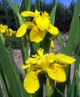 Iris pseudacorus 'Flore Plena'