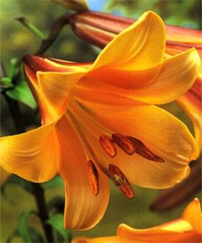 Lilium tr 'African Queen'