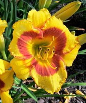 Hemerocallis 'April Fools'